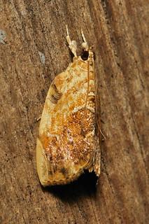 Cabbagehead Caterpillar Moth (Crocidolomia binotalis, Evergestinae, Crambidae), male