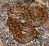 adder_female_L
