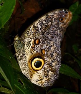 Owl-butterfly, Caligo eurilochus morpheus