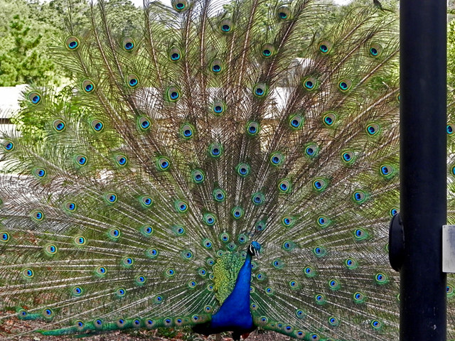 08-25-2012— Peacock