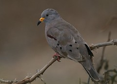 Croaking ground dove - Birding with Nature Expeditions in Peru