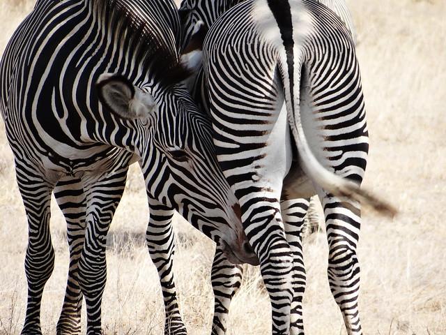 Grevy Zebras nuzzling