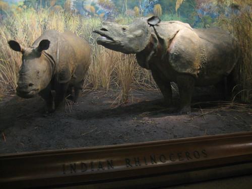 IMG_5616 Natural History Museum Indian Rhino