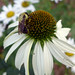 Pollen dusted bumblebee on coneflower Gage Park (3)