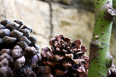 flower, plant, nature, macro photography, flora, produce, close-up, conifer cone,