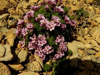 Petrocallis pyrenaica=Pétrocallis des Pyrénées