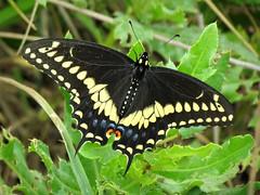 Black Swallowtail Taking a Break