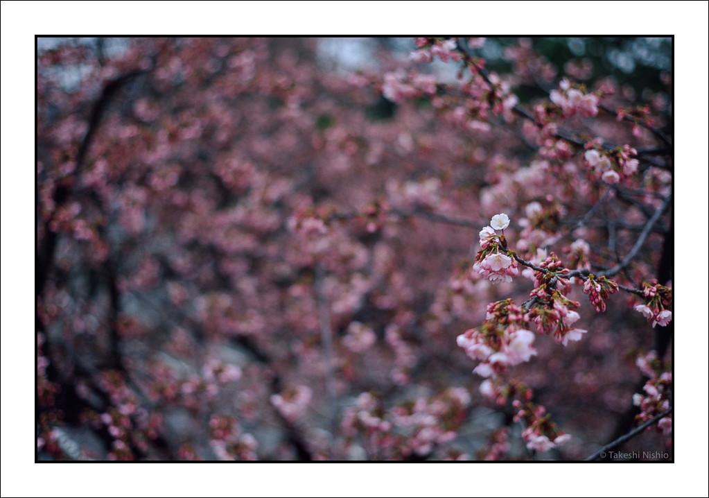桜が咲いた / Sakura, Flowering