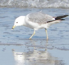 stilt(0.0), animal(1.0), charadriiformes(1.0), wing(1.0), fauna(1.0), great black-backed gull(1.0), european herring gull(1.0), shorebird(1.0), beak(1.0), bird(1.0), seabird(1.0),