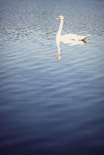 Swan at Golden Lake