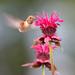 Rufous Hummingbird and Bee Balm by janruss