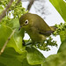 Caroline Islands White-eye - Photo (c) Tony Morris, some rights reserved (CC BY-NC)