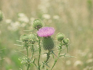 Thistle in flower