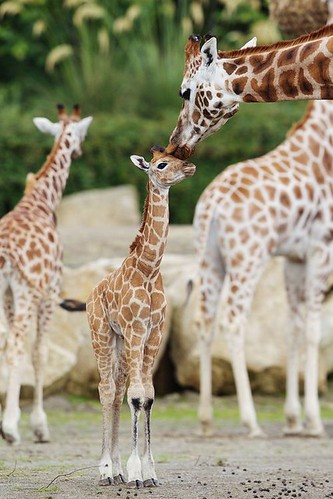 a baby giraffe, standing tall, leans slightly towards its mother. She is leaning down, gently touching the top of his snout with her lips. Others of the herd are out of focus in the background.