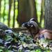 Europäischer Mufflon by naturhighlights