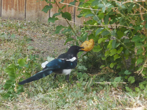 7 o'clock Magpie wielding her apple