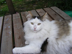ragdoll(0.0), domestic short-haired cat(0.0), domestic long-haired cat(1.0), animal(1.0), british semi-longhair(1.0), small to medium-sized cats(1.0), mammal(1.0), turkish angora(1.0), siberian(1.0), cat(1.0), whiskers(1.0), norwegian forest cat(1.0),