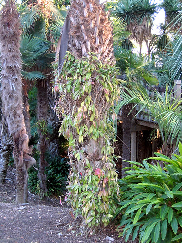 Hoya Growing Epiphytically on Palm