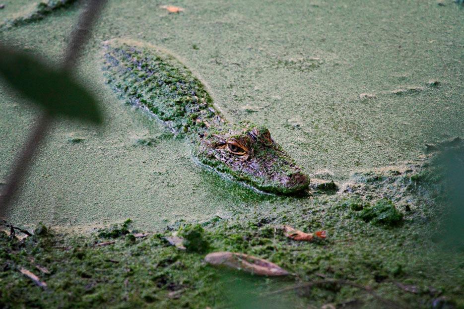 072612_03_alligator01