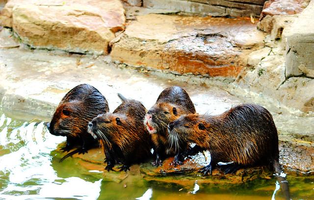 Group Of Beavers 8