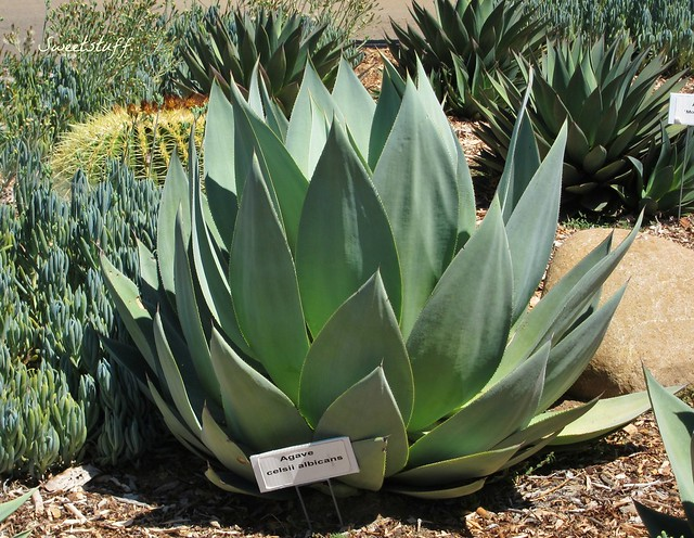 Agave celsii albicans