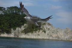 海猫 black-tailed gull