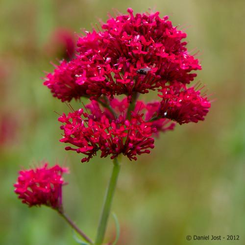 Petite fleur rouge by Photos de Daniel