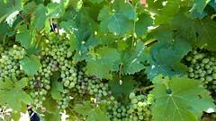 Cabernet Sauvignon, tough tannic grape - Photo of Saugon
