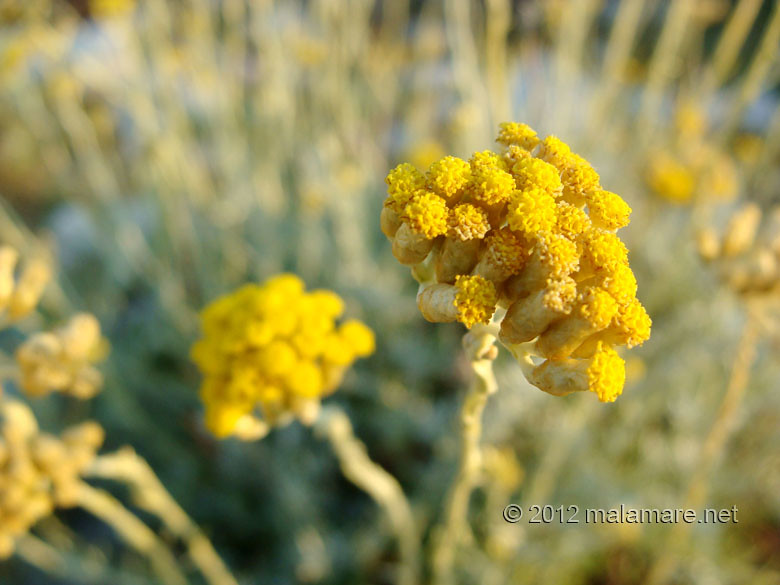 picking immortelle at dawn yellow