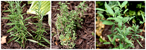 Herbs in the Garden