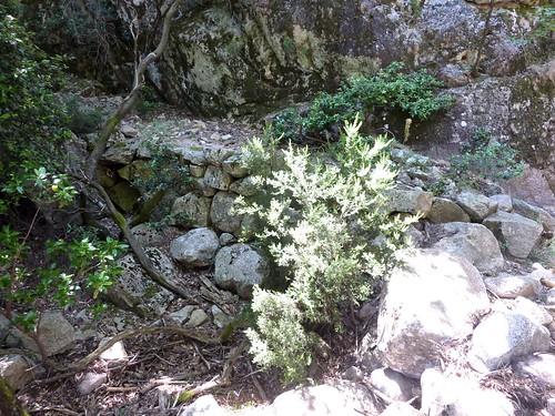 Le vieux sentier en RD en aval de la brèche du Carciara : le chemin à son arrivée dans le canyon
