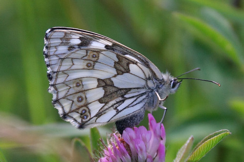 Marbled White (underwing)