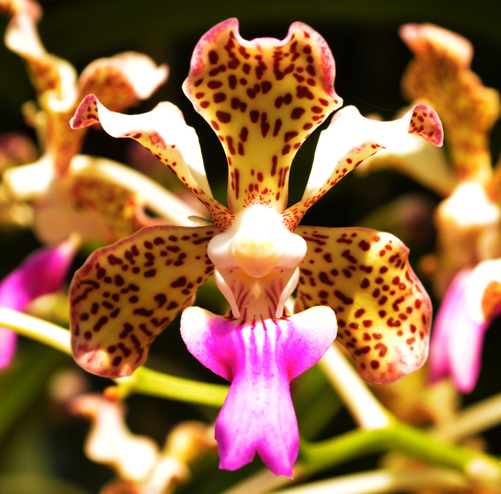 Flickr Photos Of Vanda Picssr Limbata Tricolor