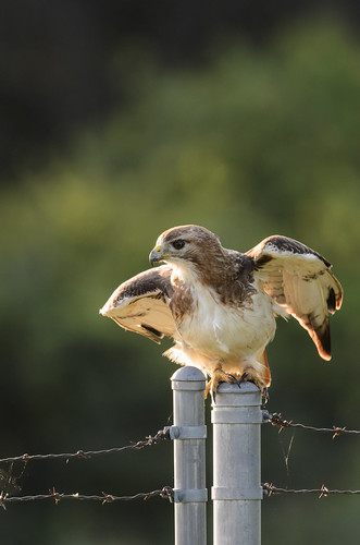 Red-tailed Hawk_1308.jpg