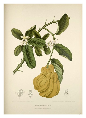 014-Fruta Mano de Buda-Fleurs, fruits et feuillages choisis de l'ille de Java-1880- Berthe Hoola van Nooten