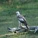 Changeable Hawk-eagle, Yala National Park (David Allison)