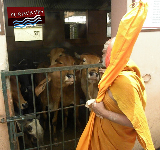 Sri Sankaracharya worshiping Cows
