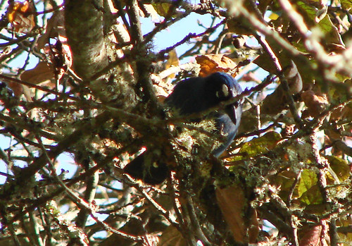 Steller's Jays in Guatemala