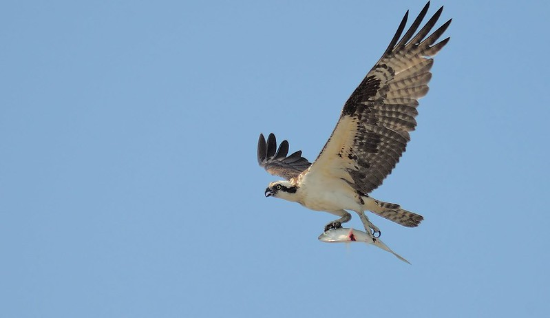 Osprey with fresh bunker
