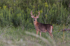 Big Buck_3853.jpg by Mully410 * Images