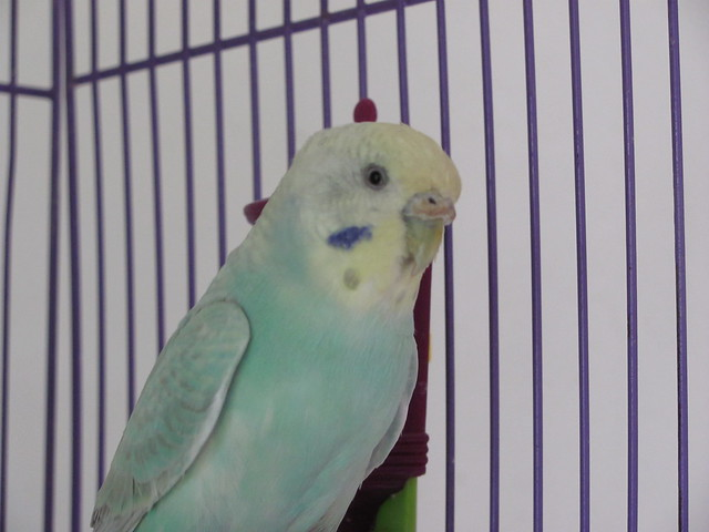 Seagrass cute budgie girl 2