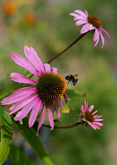 annual plant, honey bee, flower, plant, invertebrate, macro photography, membrane-winged insect, wildflower, flora, fauna, close-up, bee, purple coneflower, petal,