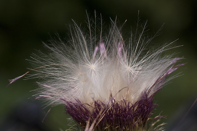 thistle explosion2