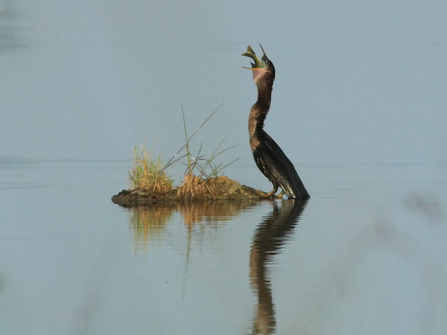 Anhinga with sunfish 10-20120808