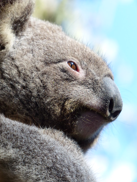 Koala - Australian Reptile Park, Central Coast NSW, Australia