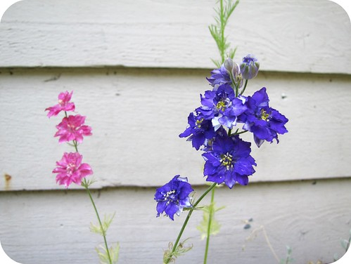 pink and purple larkspur