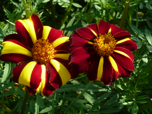 Golden Acre french marigold