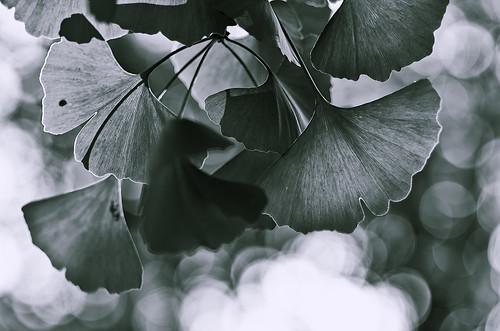無料写真素材, 花・植物, 銀杏・イチョウ