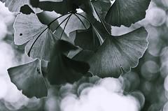 [フリー画像素材] 花・植物, 銀杏・イチョウ ID:201208170600