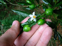 Jerusalam Cherry - Photo (c) Jon Sullivan, some rights reserved (CC BY-NC)